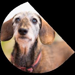 kantoor-hond-dabbert-portret